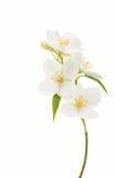 flor del jazmín aislada Foto de archivo libre de regalías