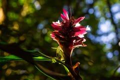 Flor del jengibre Imágenes de archivo libres de regalías