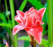 Flor del jengibre de la antorcha Fotografía de archivo libre de regalías