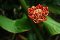 Flor del jengibre de la antorcha en la plena floración Foto de archivo libre de regalías