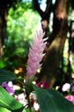 Flor del jengibre o reina rosada de la selva Foto de archivo