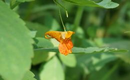 Flor del Jewelweed Fotos de archivo
