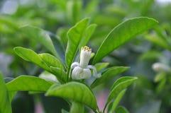 Flor del kumquat redondo, japonica de la fruta cítrica Imagenes de archivo