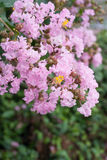 Flor del Lagerstroemia indica Foto de archivo libre de regalías
