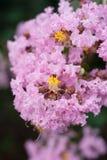 Flor del Lagerstroemia indica imagen de archivo libre de regalías