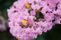 Flor del Lagerstroemia indica foto de archivo