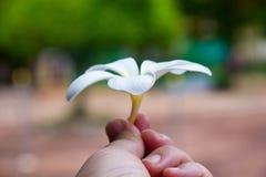 Flor del Lan Thom Imagenes de archivo