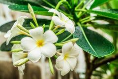 Flor del Lan Thom Fotografía de archivo