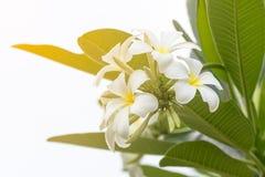 Flor del Lan Thom Fotografía de archivo libre de regalías