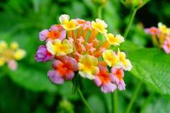 Flor del Lantana Foto de archivo