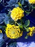 Flor del Lantana en color amarillo Imagen de archivo
