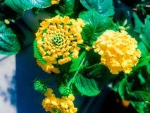 Flor del Lantana en color amarillo Fotografía de archivo
