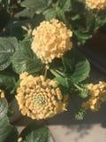 Flor del Lantana en color amarillo Fotos de archivo