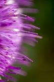 Flor del lappa del Arctium rosada Fotos de archivo libres de regalías