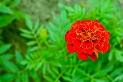 Flor del lat de la maravilla de la planta Tagétes Origen - Norteamérica Fotografía de archivo
