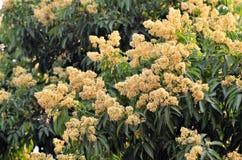 Flor del lichi Fotos de archivo