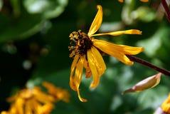 Flor del Ligularia en otoño Fotos de archivo libres de regalías