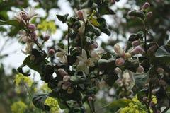 Flor del limón Foto de archivo libre de regalías
