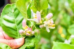 Flor del limón en árbol Foto de archivo libre de regalías