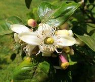 Flor del limón y su pistilo Fotos de archivo libres de regalías