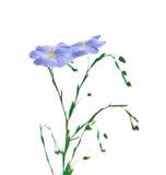 Flor del lino Foto de archivo