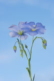 Flor del lino Imagenes de archivo