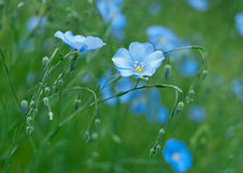 Flor del lino Fotos de archivo libres de regalías