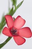 Flor del lino (grandiflorum de Linum) foto de archivo
