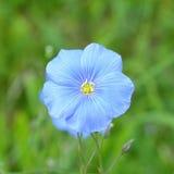 Flor del lino, usitatissimum de Linum Imágenes de archivo libres de regalías