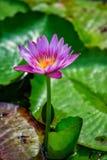 Flor del lirio Imágenes de archivo libres de regalías