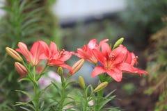 Flor del lirio Fotos de archivo libres de regalías