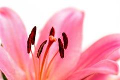 Flor del lirio. Fotografía de archivo