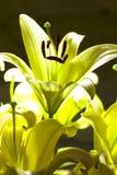 Flor del lirio Fotografía de archivo libre de regalías