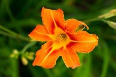 Flor del lirio Foto de archivo libre de regalías