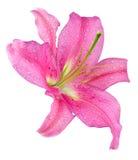 Flor del lirio Imagen de archivo