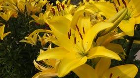 Flor del lirio almacen de metraje de vídeo