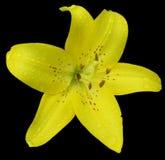 Flor del lirio aislada Imagenes de archivo