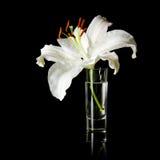 Flor del lirio blanco Fotos de archivo libres de regalías