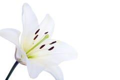 Flor del lirio blanco Fotografía de archivo libre de regalías