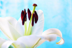 Flor del lirio blanco, en el Lilium latino Navona DOF bajo Fondo de la flor con la flor del lirio blanco Foto de archivo libre de regalías