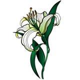 Flor del lirio blanco Modelo linear con una pendiente stock de ilustración