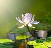 Flor del lirio de agua Fotografía de archivo