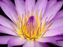 Flor del lirio de agua Imagenes de archivo