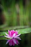Flor del lirio de agua Imagen de archivo libre de regalías