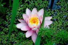 Flor del lirio de agua Fotos de archivo