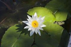 Flor del lirio de agua blanca en la charca, visión superior Imagenes de archivo