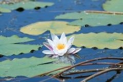Flor del lirio de agua blanca en la floración Imágenes de archivo libres de regalías