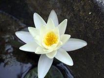 Flor del lirio de agua de Nenúfar foto de archivo libre de regalías