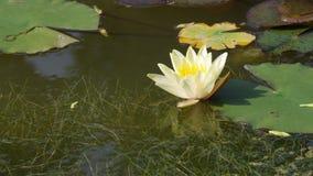Flor del lirio de agua del rosa de Twain (loto) Foto de archivo libre de regalías