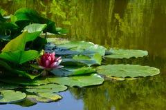 Flor del lirio de agua en agua imagen de archivo